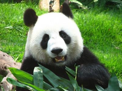 澳門大熊貓館 Macao Giant Panda Pavilion